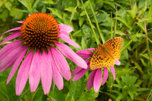 Great Spangled Fritillary Butterfly Uses A Proboscis To Sip Nectar From Colorful Garden Flowers In Summer