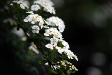 Spirea Bridal Wreath Shrub White Flowers In Bloom