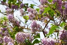 Beautiful Shot Of Lilac Flower...