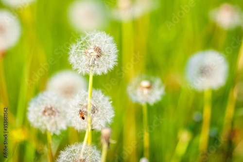 Fototapety, obrazy: Beautiful shot of the dandelion flowers in the garden on a sunny day