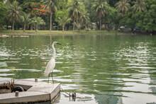 White Egret At Lumpini Park, I...