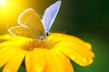 Beautiful Butterfly On Gazania...