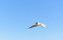 White Seagull Flying In Bright...