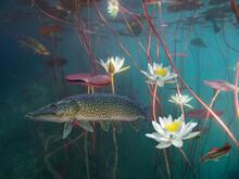 Pike Betwen Water Lilies In La...