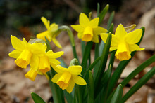 Miniature Daffodils, Dwarf Yellow Flowers Blooming In Spring