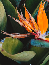Royal Strelitzia. Exotic Orang...