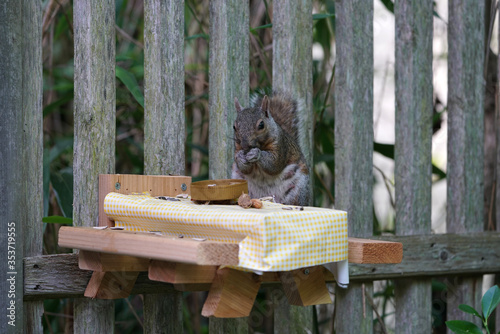 Obraz A gray squirrel eating at a backyard wooden picnic table for squirrels and birds mounted on a garden fence - fototapety do salonu