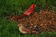 Male And Female Cardinals On Ground