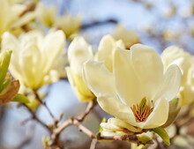 Magnolia Tree In Bloom