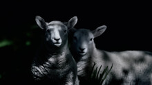 Two Lambs With Spring Sunshine Filtering Through Trees Against A Dark Background