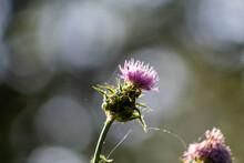Fleur De Chardon En Gros Plan Dans La Lumière Du Soir