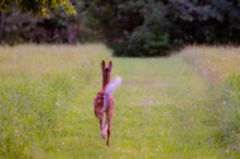 Fawn Running In A Field On A F...