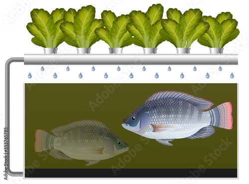 Aquaponics system with tilapia fish and lettuce #353765785