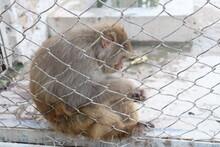 Monkey Behind The Zoo Bars