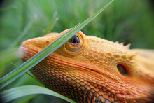 Close Up Of A Bearded Dragon H...