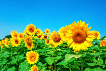 Sunflower_2639