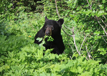 Black Bear In The Woods