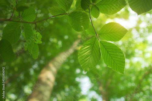 Spring leaf of beech tree Fototapet
