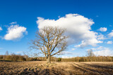 Lonely oak against the blue sky. Spring cultivated fields
