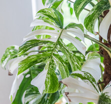 Urban Jungle - Zimmerpflanzen - Monstera - Monstera Deliciosa Variegata