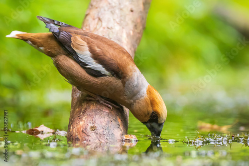Photo Closeup of a hawfinch male, Coccothraustes coccothraustes, songbird drinking wat