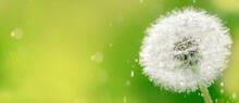 Macro Dew Drops On Dandelion S...