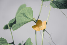 Yellow Melon Flower On A Stem With Green Leaves On A Gray Background. Pastel Shades. Abstract Pattern.