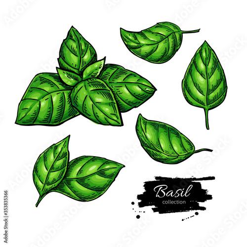 Valokuva Basil vector drawing set