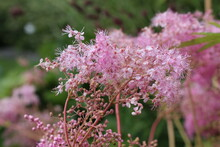 """Pale Pink """"Queen Of The Prairie"""" Flowers In Innsbruck, Austria. Its Scientific Name Is Filipendula Rubra, Native To Northeastern And Central USA."""