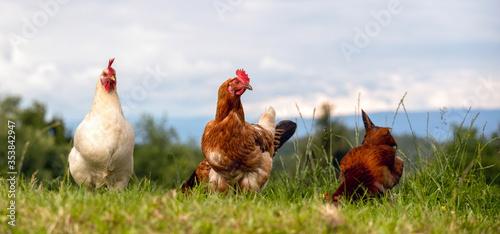 Obraz Weißer und bunter hahn mit Henne, Nahaufnahme in einer Wiese - fototapety do salonu