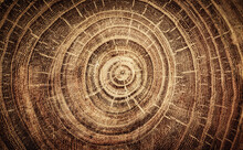 Sawed Oak Tree Close Up. Macro...