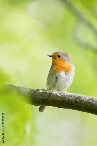 robin on a branch Wallpaper Mural