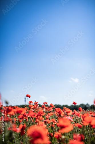 Fototapeta red poppies in a green field obraz na płótnie