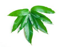Mango Leaf With Water Drop On White Background, Fresh Green Mango Leaves