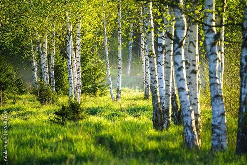 Obraz Wiosenny las brzozowy - fototapety do salonu