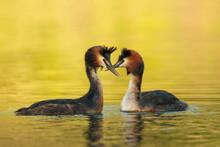 Waterfowl Bird Pair Of Great C...