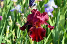 Maroon Bearded Iris In A Spring Garden On A Sunny Day