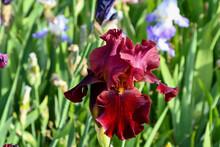 Maroon Bearded Iris In A Sprin...
