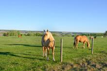 A Herd Of Horses Graze In A Pa...