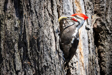 Male Pileated Woodpecker Forag...