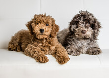2 Doodle Puppies On A Couch