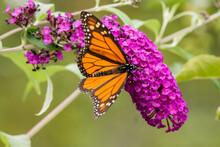 Monarch Butterfly On Purple Bu...