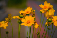 Coreopsis, Flowering Plant, The Family Asteraceae, Calliopsis, Tickseed, Many Yellow-orange Flowers, Macro, Bokeh, Nature, Beauty