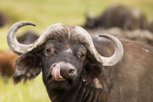 Buffalo In The Grass During Sa...