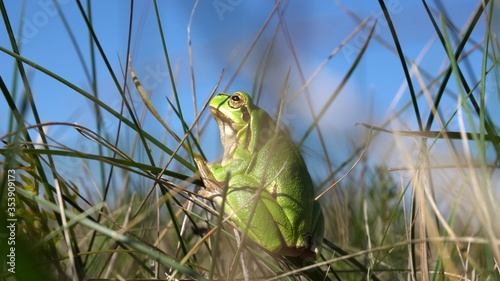 Photo The European tree frog Hyla arborea sitting in a grass
