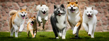 Group Of Japanese Dogs Running...