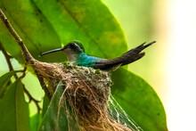Cuban Hummingbird In The Nest ...