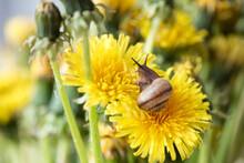 Little Snail Crawls On Yellow Dandelion Flower