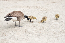 Family Of Canada Geese At The ...