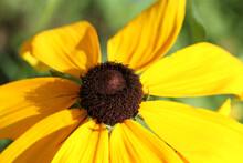Closeup Of Brown Eyed Susan